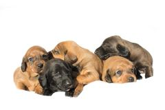 Small puppies playing. And lying all over royalty free stock photos
