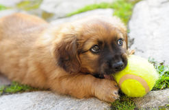 Small puppy Royalty Free Stock Images