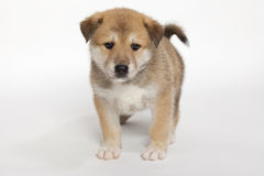 Small Puppy Royalty Free Stock Photography