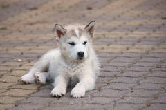 Small puppy. Of Alaskan Malamute stock image