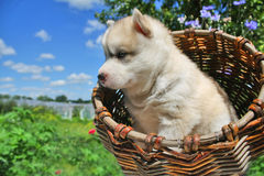 Small puppy in a basket Stock Image