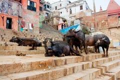 Small puppy and big buffalos walking through street of Varanasi Stock Photos