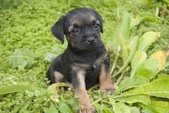 A small puppy of the Border Terrier breed stock photo