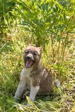 Small puppy of the breed Siberian Husky sitting in the grass in summer. Small puppy of the breed Siberian Husky sitting in the green grass in summer royalty free stock photography