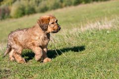 Small puppy briard on meadow. Stock Photos