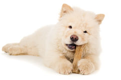 Small puppy chow chow gnaws bone Stock Images