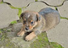 Small puppy 2 Royalty Free Stock Images