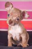 Small puppy dog. Chihuahua dog watching the camera on a colored background Stock Photography