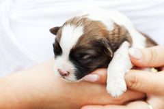 Small puppy dog in woman hand Stock Photos