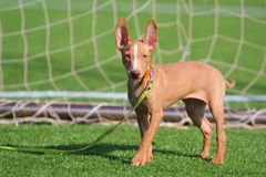 Cirneco dog. Small puppy at the football goal Stock Images