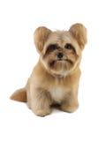 Small Puppy Royalty Free Stock Photo