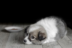 Small puppy lies next to the plate of food. Stock Photography