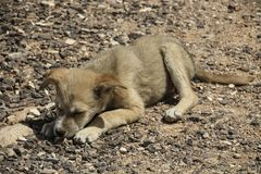 Small puppy lies on a stony ground and gnaws a bone. Small puppy beige colour lies on a stony ground and gnaws a bone Royalty Free Stock Image