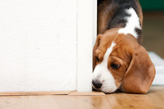 Small puppy looking curiously royalty free stock image