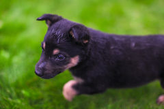 Small puppy mongrel on background of green grass Royalty Free Stock Image