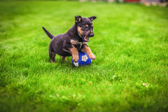 Small puppy mongrel on background of green grass outdoors play with ball Royalty Free Stock Image