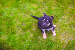 Small puppy mongrel on background of green grass outdoos Royalty Free Stock Image