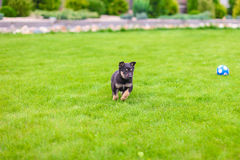 Small puppy mongrel on background of green grass outdors play with ball Stock Photo