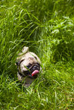 Small puppy pug  on the grass Stock Image