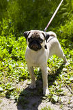 Small puppy pug on the green grass Royalty Free Stock Photo