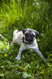 Small puppy pug on the green grass Royalty Free Stock Images