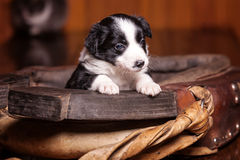 Small puppy put the foot on the collar for horses and thought Royalty Free Stock Photos