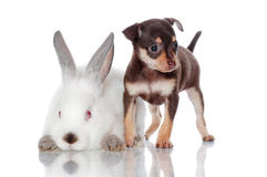 Small puppy with a rabbit Royalty Free Stock Image