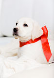 Small puppy with red ribbon on his neck Royalty Free Stock Image
