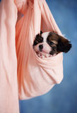 Small Puppy resting Royalty Free Stock Images