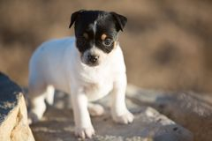 Small puppy on a rock royalty free stock photo