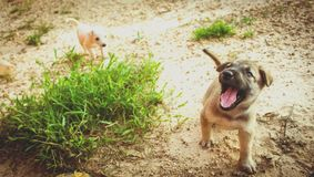 Small puppy running in a garden. Yangon, Myanmar royalty free stock photography