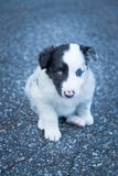 Beautiful and cute sheepdog puppy stock image