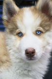 Small puppy siberian husky Stock Images