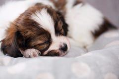 Small puppy sleep Royalty Free Stock Photo