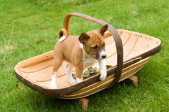 Small puppy standing in trug Royalty Free Stock Photography