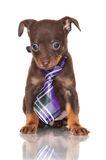 Small puppy in a tie Royalty Free Stock Photography
