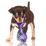 Small puppy in a tie Stock Photo