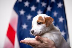 Small puppy with US flag on background royalty free stock photo