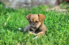 Small puppy Stock Photography