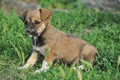 Small puppy Royalty Free Stock Image