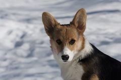 Small puppy. Small welsh cogi puppy in snow Stock Photo