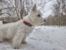 Small puppy of West Highland White Terrier in winter forest. Very cute stock photos