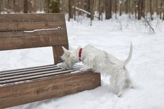 Puppy of West Highland White Terrier in winter forest. Small puppy of West Highland White Terrier in winter forest. Very cute royalty free stock photography