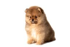 Small puppy on a white background Royalty Free Stock Image