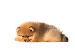 Small puppy on a white background Stock Images