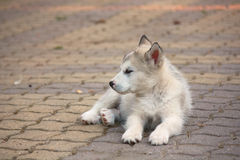 Small puppy. Small and young Alaskan Malamute royalty free stock photos