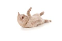 Small purebred British kitten plays Stock Photo