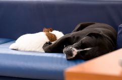 Small purebred dog Jack Russell Terrier sleeping on the couch next to a large black dog amstaff. Hugged and loving. Stock Image