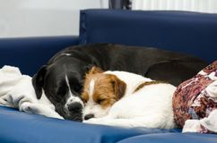 Small purebred dog Jack Russell Terrier sleeping on the couch next to a large black dog amstaff. Hugged and loving. Stock Photo
