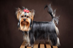 Small purebred domestic dog, yorkshire terrier studio shot, dark Stock Photography